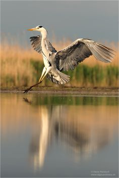 A Grey Heron.                       (Photo By: Hans Rentsch on 500px.)