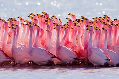Mating Ritual: The James's Flamingo (Phoenicoparrus jamesi), also known as the Puna Flamingo, is a South American flamingo, named for Harry Berkeley James...