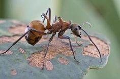 Fish-hook Ant
