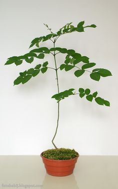 Darmowe zdjęcia na tapety, e-kartki, sentencje... Free Photos : Moje bonsai jesion zwyczajny  Wallpaper Full HD 12...