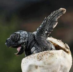 Fantastic shot of a baby sea turtle.  Want to learn more?  See the wild.org