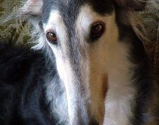 Borzoi Dog Info, Mixes, Temperament, Training, Puppies, Pictures Puppy Images, Puppy Pictures, Borzoi Puppy, Wolf's Lair, Russian Wolfhound, Training Your Puppy, Dry Dog Food, Collie, Dog Breeds