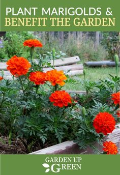 Looking for easy to grow flowers? Add Marigolds to the garden for color and benefits that help detour pests. Marigolds In Garden, Growing Marigolds, Hydrangea Garden, Growing Flowers, Herb Garden, Garden Plants, Plants For Raised Beds, Raised Garden Beds, Easy To Grow Flowers
