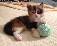 When you're a young Micro-Kitteh like Chloe, your interests are simple. Eat..sleep..and play with a ball of yarn. Come to think of it, that's pretty much what you do when you're an adult Kitteh, to...