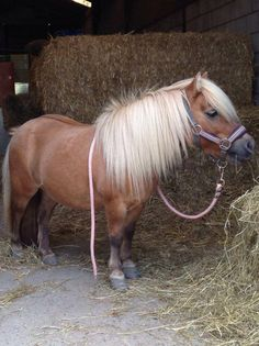 Shetland Pony:-- named for Islands they were developed..shaggy w/long, thick manes, tails, and forelocks with short muscled legs.. not exceed 10.2 hands