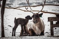 Baby reindeer and momma in Fairbanks, Alaska