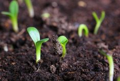 The 2 simple rules for when to transplant seedlings from a seed tray. Plus, which plants DON'T need to start in a seed tray. How & why to thin seedlings. Cheap Greenhouse, Greenhouse Interiors, Indoor Greenhouse, Greenhouse Plans, Organic Farming, Organic Gardening, When To Transplant Seedlings, Agriculture Bio, Starting Seeds Indoors