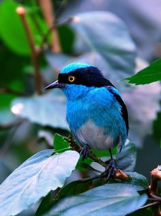 The Black Faced Dacnis.