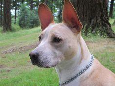 My dog Lucca.  A Basenji / Pit Bull mix.