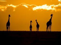 夕焼けのキリン、ケニア  Photograph by Randy Crossley  マサイマラ国立保護区でサファリ見物を終えた私たちは、車で帰路を急いでいた。日が沈むまでに何としてもキャンプへたどり着かなければならない。保護区では日没後に野外にいることが禁じられており、規則を破れば罰金だ。焦りつつもこの美しい光景と遭遇。ほんの少しだけ車を止めてくれるよう運転手を説得し、私はカメラを手に取る。罰金を覚悟したが、暗くなる前にキャンプへ帰り着くことができた。    キリンの解説ページへ
