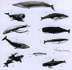 1. Blue whale   4. Grey Whale   7. Minke Whale   10. Orca (killer whale)  2. Right Whale  5. Sperm Whale   8. Narwhal   11. Pilot whale  3. Humpback Whale   6. Fin Whale   9. Beluga Whale