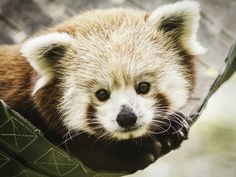 Flynn-tastic by Paul.E.M on Flickr. Flynn the red panda is the a cutie.
