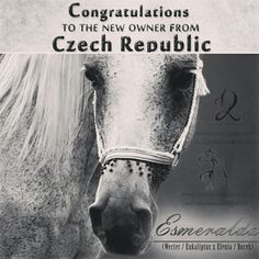 SOLD to CZECH REPUBLIC! ️🇨🇿️️  ESMERALDA, grey mare 2002  💎 Werter (Eukaliptus x  Walkiria) 💎 Elenia (Borek x Eleina)  Congratulations to the new owner from Czech Republic on the purchase granddaughter of the best and the most beloved show champions broodmatrons of Polish breeding stallion EUKALIPTUS (Bandos x Eunice).