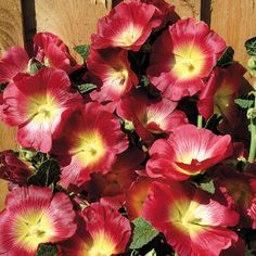 Halo Red Hollyhocks ... [Full/partial sun, USDA 4 to 9, AHS 10 to 3, Moderate moisture, Drought tolerant]