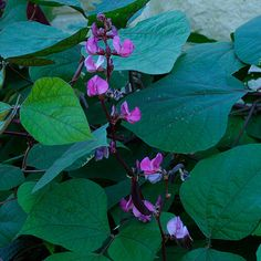 Egyptian bean, Hyacinth bean, Indian bean, Lablab. Latin name: Lablab purpureus. Zones 9-11. Learn more here http://www.finegardening.com/plantguide/lablab-purpureus-hyacinth-bean.aspx#