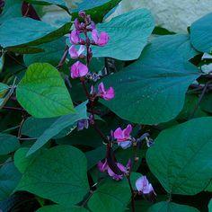 Egyptian bean, Hyacinth bean, Indian bean, Lablab. Latin name: Lablab purpureus. Zones 9-11. Learn more here http://www.finegardening.com/plantguide/lablab-purpureus-hyacinth-bean.aspx#