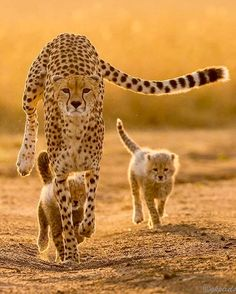Cheetah and her cubs, try to help, they are so Highly Endangered !