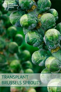 Brussels sprouts for next winter should now be ready for transplanting after early or mid-spring sowing.