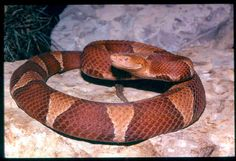 the description of the water moccasin aka moccasin snake Also click here for snake photo page #2 (20 snake photos) or click here for snake photo page #3  closeup - banded water snake: for snake trapping in orlando,.