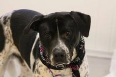 NAME: Hero  ANIMAL ID: 25200102  BREED: heeler mix  SEX: male  EST. AGE: 2 yr  Est Weight: 64 lbs  Health: heartworm neg  Temperament: dog friendly, people friendly  ADDITIONAL INFO: RESCUE PULL FEE: $49  Intake date: 3/19  Available: Now