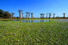 Des baobabs - Madagascar