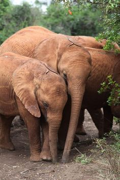 Since moving to Ithumba, Kainuk has become inseparable from Turkwel and bellows loudly until she finds her friend if the two are ever apart! Here's a picture of the pair together from their days back in the Nursery.    You can find out more about Kainuk and Turkwel's progress at Ithumba via our Keeper Diaries at: http://www.sheldrickwildlifetrust.org/asp/keepers_diary.asp