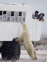 Kuvahaun tulos haulle polar bear churchill photo