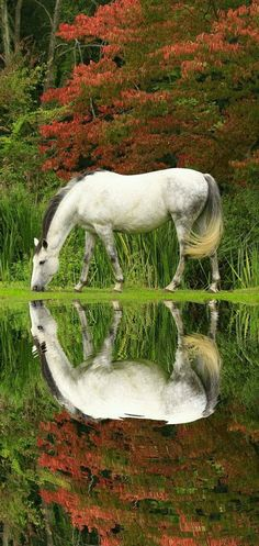 Beautiful grey white horse reflections. Pretty Autumn trees and green pond.