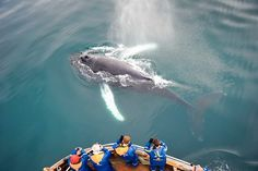 Whales are extraordinary mammals! You can go whale watching all year around in Iceland. Both in Húsavík (North Iceland) and Reykjavík. Click image to read more about Extreme Iceland Whale Watching tours.