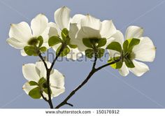 Dogwood Stock Photos, Images, & Pictures | Shutterstock