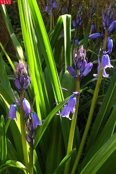 25-04 | In mijn tuin, waar vaak het recht van de sterkste geldt, heeft de boshyacint een riante plaats ingenomen.