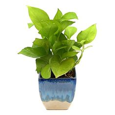 8f5b1ef93cc Exotic Green Nice Indoor Oxygen   Air Purifier Plant Golden Pothose in