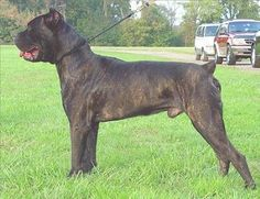 """The Cane Corso Italiano is the original Cane Corso breed, a/k/a Cane di Macellaio, Sicilian Branchiero, & Italian Mastiff.    Originating in Italy, its direct ancestor is the """"Canis Pugnax"""" (the old Roman Molossian) of which the Corso is the light version used in the hunting of large wild animals and also as an """"auxiliary warrior"""" in battles.  Corsos are still used as property, cattle and personal guard dogs as well as for hunting."""