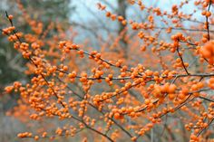 Ilex Verticillata 'Winter Gold', Winterberry 'Winter Gold', golden berries, yellow berries, evergreen shrub, American winterberry, Aquifoliaceae, Berry, holly, Ilex, winter shrub