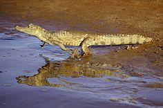 NG - Jacaretinga (Caiman crocodilus). Parque Estadual do Cantão