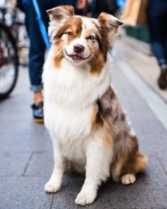 """Cedar Australian Shepherd y/o) N & Bedford Ave. Brooklyn NY """"She really likes melons: honeydew watermelon. She also likes asparagus."""" by thedogist Australian Shepherd Puppies, Aussie Puppies, Cute Dogs And Puppies, I Love Dogs, Doggies, Red Merle Australian Shepherd, Mini Australian Shepherds, Corgi Puppies, Beautiful Dogs"""