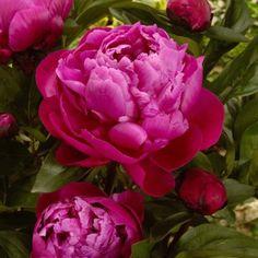 Luktpion Red Sarah Bernhardt, perenner - Barrotade perenner - Klostra.se Rose, Flowers, Plants, Compost, Roses, Flora, Planters, Royal Icing Flowers, Flower