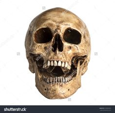 Skull Model In Open The Mouth Pose Isolated On White Background ...