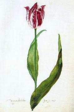 'De Vroege Brabantsson' from the Judith Leyster tulip book (1643) Welcome to my gardening blog http://www.facebook.com/flowerindoorgardening #tulip  #flower #bulb