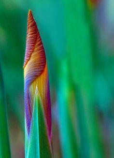 pearl-nautilus:  Iris