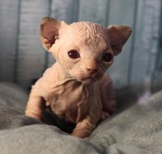 People love kittens because they are little and fluffy - but what's hiding underneath all that fur? This adorable collection of hairless Sphynx kittens prove that these creatures can be just as cute, if not slightly odd looking, without a luxurious mane. Kittens Cutest, Cats And Kittens, Cute Cats, Cats Meowing, Crazy Cat Lady, Crazy Cats, Fluffy Cat Breeds, Hairless Kitten, Baby Animals