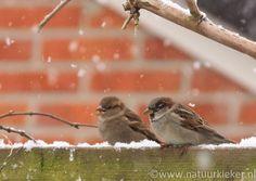 Mussen in de sneeuw - Natuurkieker