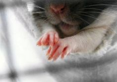 rats have the cutest little hands