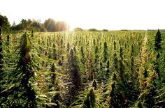 HEMP - the wonderfully environmental, health and economical benefits of bringing it back (legally).