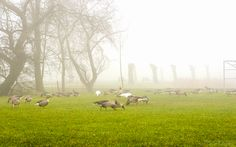 Geese in the grass