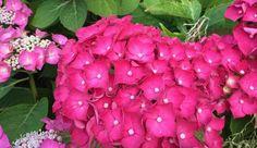 L'hortensia ou Hydrangea - son nom botanique latin - est un grand arbuste à installer dans son jardin. L'hortensia se cultive à peu près partout : il résiste facilement à des températures descendant jusqu'à -10 °C. Planté en pot ou en pleine terre, l'hydrangea illumine les jardins de la fin du printemps au début de l'hiver. Il existe plusieurs dizaines de variétés d'hortensia, aux couleurs différentes, du blanc pur au pourpre foncé. Ses fleurs très graphiques vont du c...