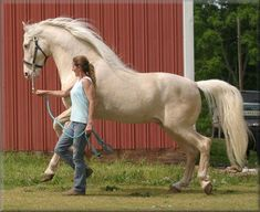 16 hand champagne colored Tennessee Walker