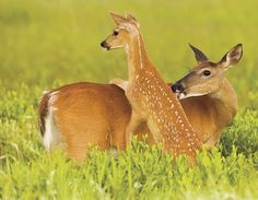 Deer in Shenandoah National Park, Virginia - photo credit: Wil Hershberger