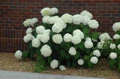 Incrediball Hydrangea (Hydrangea arborescens 'Abetwo') at ...