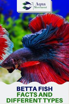 We will go over all the betta fish facts you need to know. And, at the end of this post, we will also discuss different types of betta fish as well. Betta Fish Tank Mates, Baby Betta Fish, Betta Fish Toys, Betta Fish Tattoo, Koi Betta, Betta Fish Care, Betta Tank, Types Of Betta Fish, Breeding Betta Fish